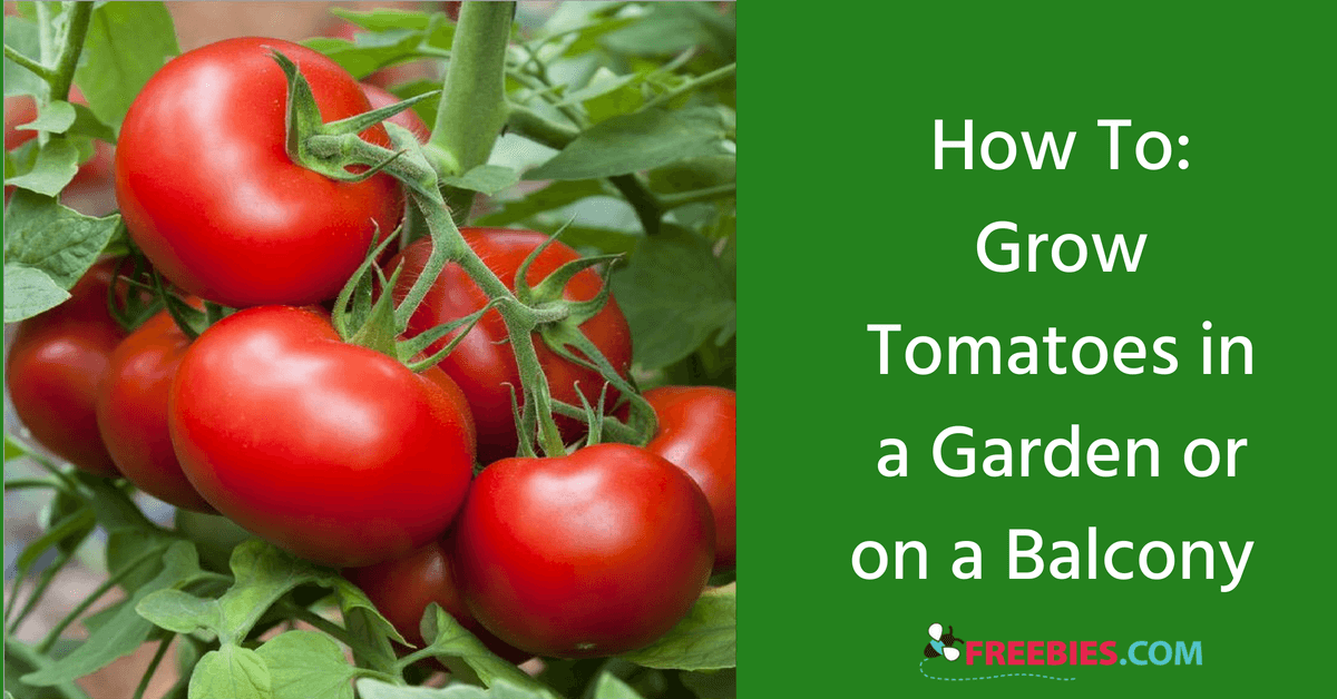 https://storage.googleapis.com/freebies-com/resources/shareables/217/our-easy-guide-to-growing-tomatoes.png