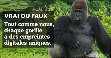 Vrai ou faux :tout comme nous, chaque gorille a des empreintes digitales uniques.