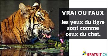 Vrai ou faux : les yeux du tigre sont comme ceux du chat.