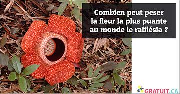 Combien peut peser la fleur la plus puante au monde le rafflésia?
