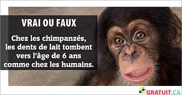 Chez les chimpanzés, les dents de lait tombent vers l'âge de 6 ans comme chez les humains.
