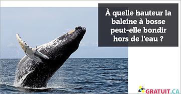 À quelle hauteur la baleine à bosse peut-elle bondir hors de l'eau?