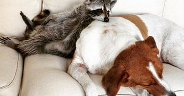 Pumpkin The Racoon Thinks She's A Dog And It's Adorable
