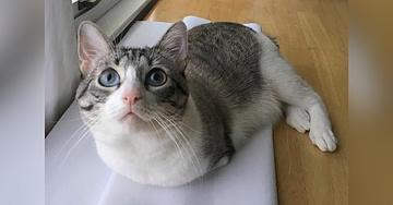 Meet Roux, the Bunny Cat
