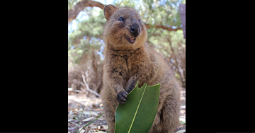 Tap The Image To See What This Quokka Is Hiding!