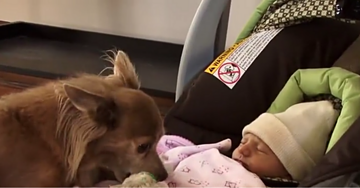 Ecstatic Chihuahua Reacts to Newborn Girl Coming Home
