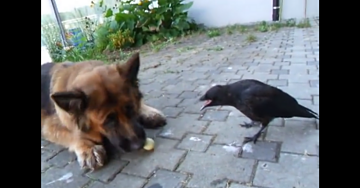 Crow and Dog Meet to See if They're Compatible. Will They Get Along?