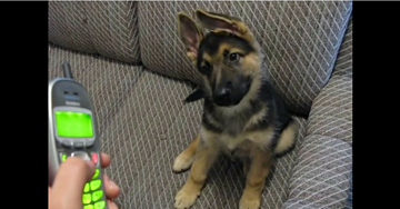 German Shepherd Puppy Confused by His Owner's Cell Phone