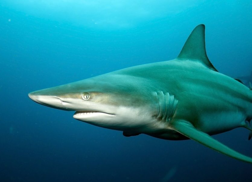 Spinner Shark - Freediving in United Arab Emirates. Courses, Certificates and Equipment