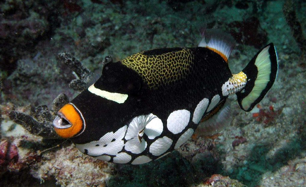 Clown triggerfish - Freediving in United Arab Emirates. Courses, Certificates and Equipment