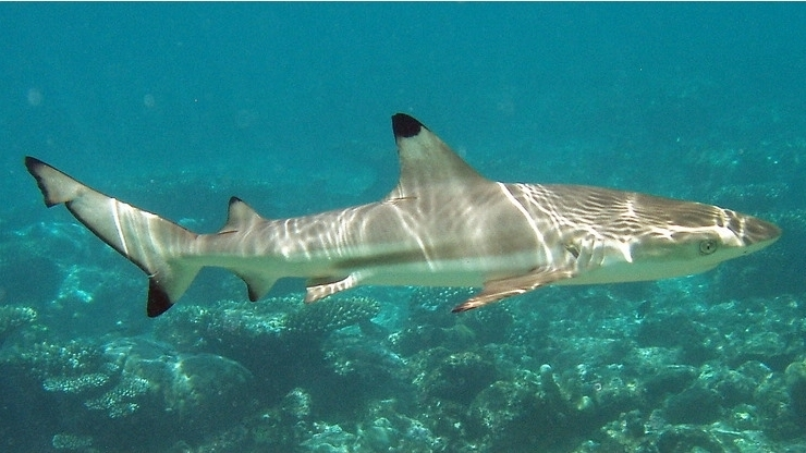 Spottail Shark - Freediving in United Arab Emirates. Courses, Certificates and Equipment