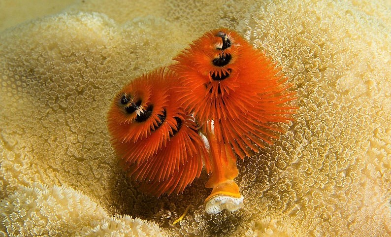 Christmas tree worm - Freediving in United Arab Emirates. Courses, Certificates and Equipment