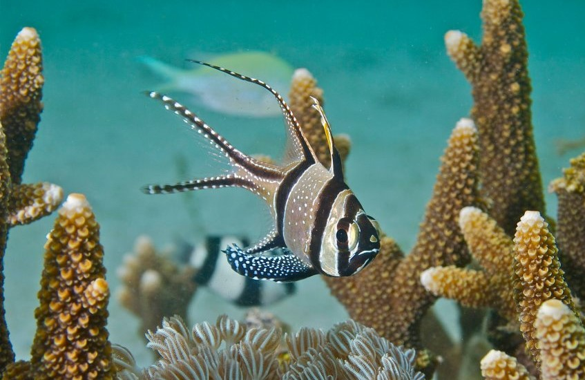 Banggai cardinalfish - Freediving in United Arab Emirates. Courses, Certificates and Equipment