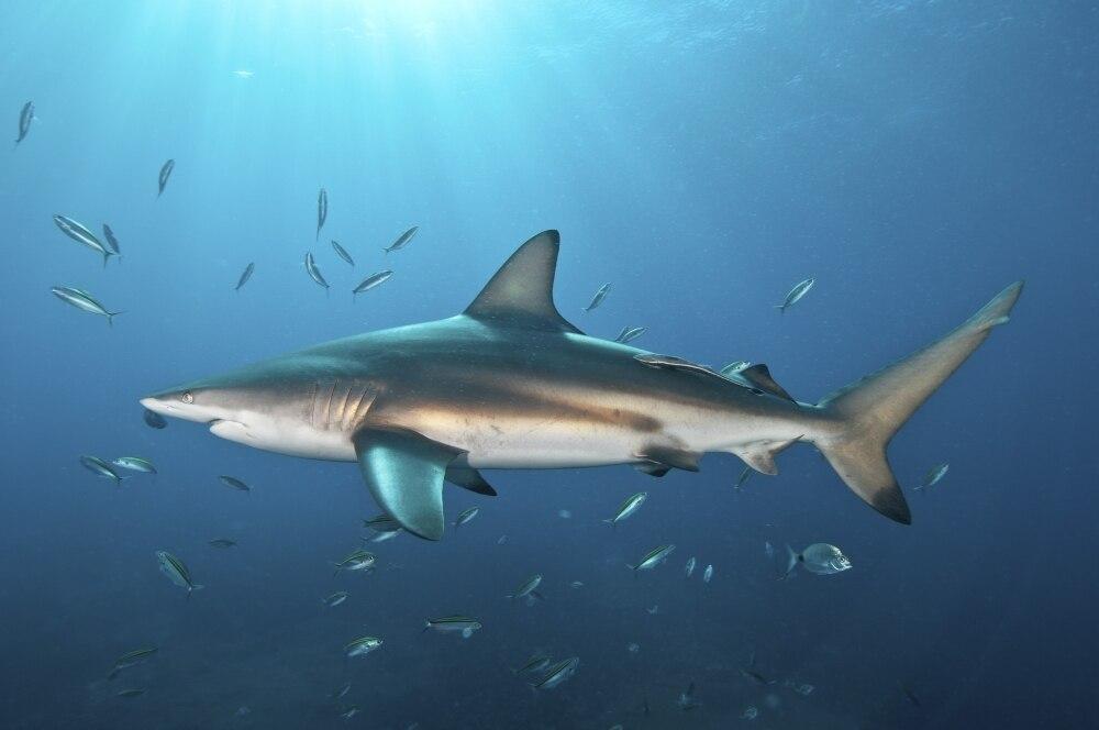 Blacktip Shark - Freediving in United Arab Emirates. Courses, Certificates and Equipment