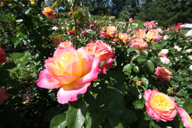 A photo of blooming pink and yellow roses