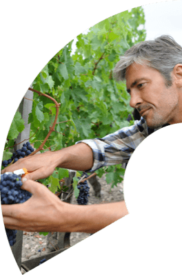 Winemaker gathering grape