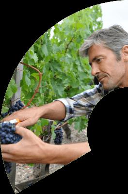 Winemaker gathering grape