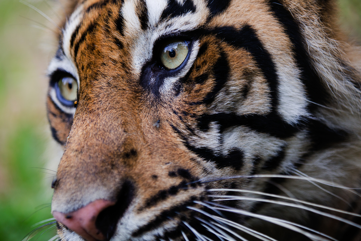 Close-up of a semi-wild Sumatran Tiger (Panthera Tigris Sumatrae), seen at the Tambling Wildlife Nature Conservation rescue centre, which is part of the South Bukit Barisan National Park.