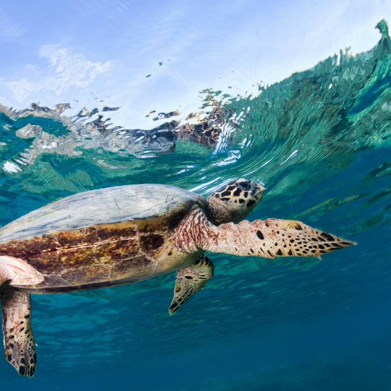 hawksbill-turtle-annual-report