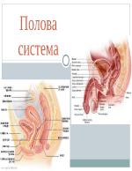 Полова система - женска и мъжка