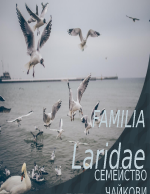 Орнитология Семейство Чайки
