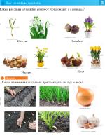 Как засаждаме луковица