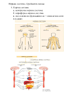 Нервна система Гръбначен мозък