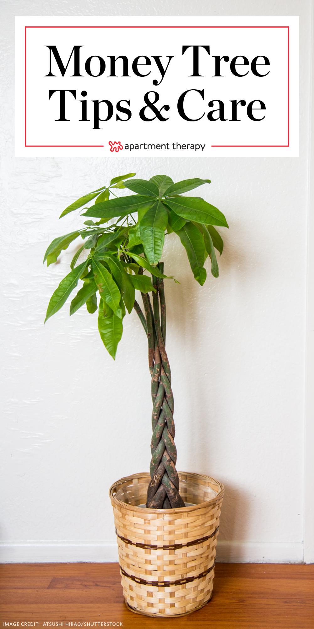 Money Tree Plant Care - Growing Plants Indoors | Apartment