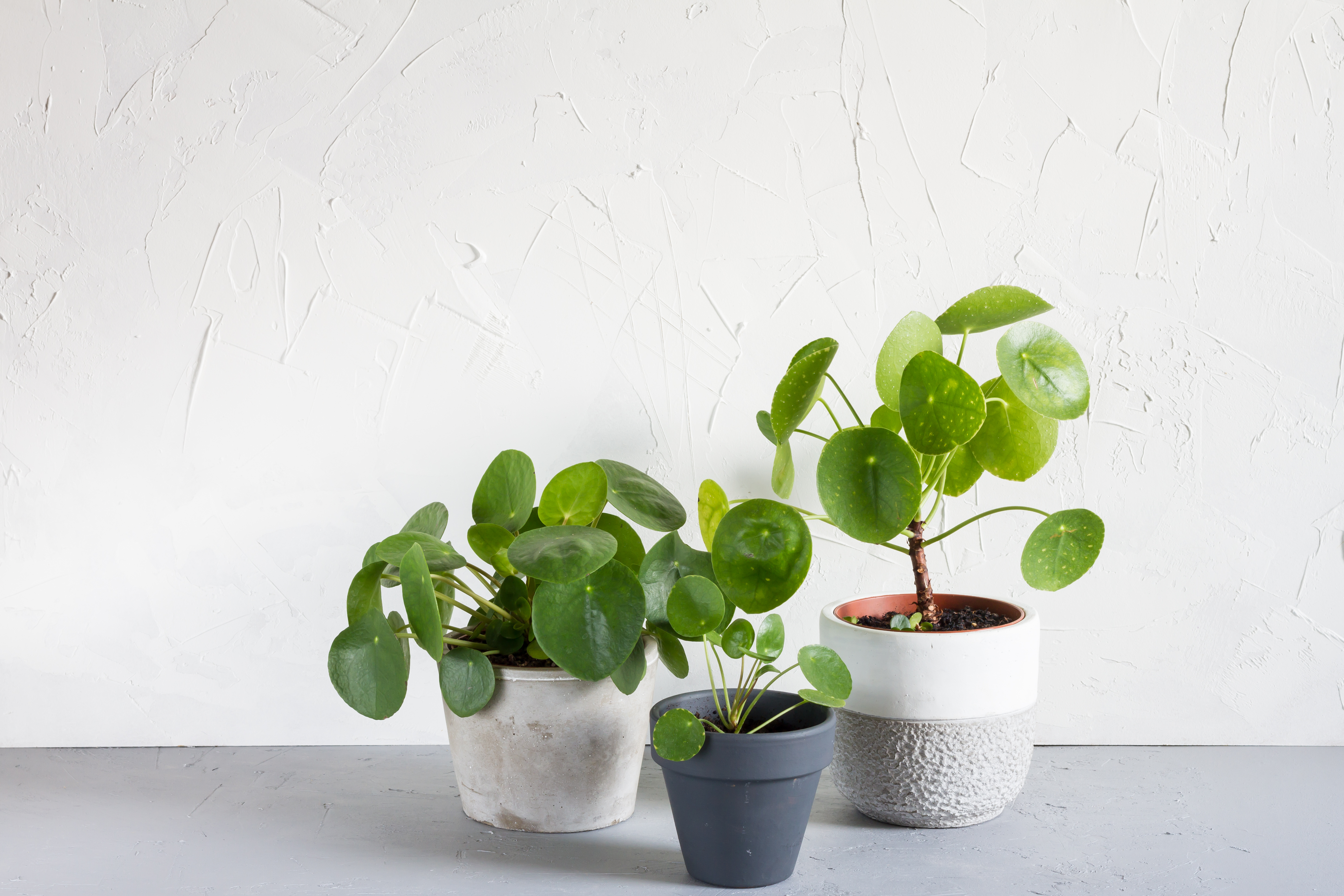 Chinese Money Plant Care How to Grow & Maintain Pilea