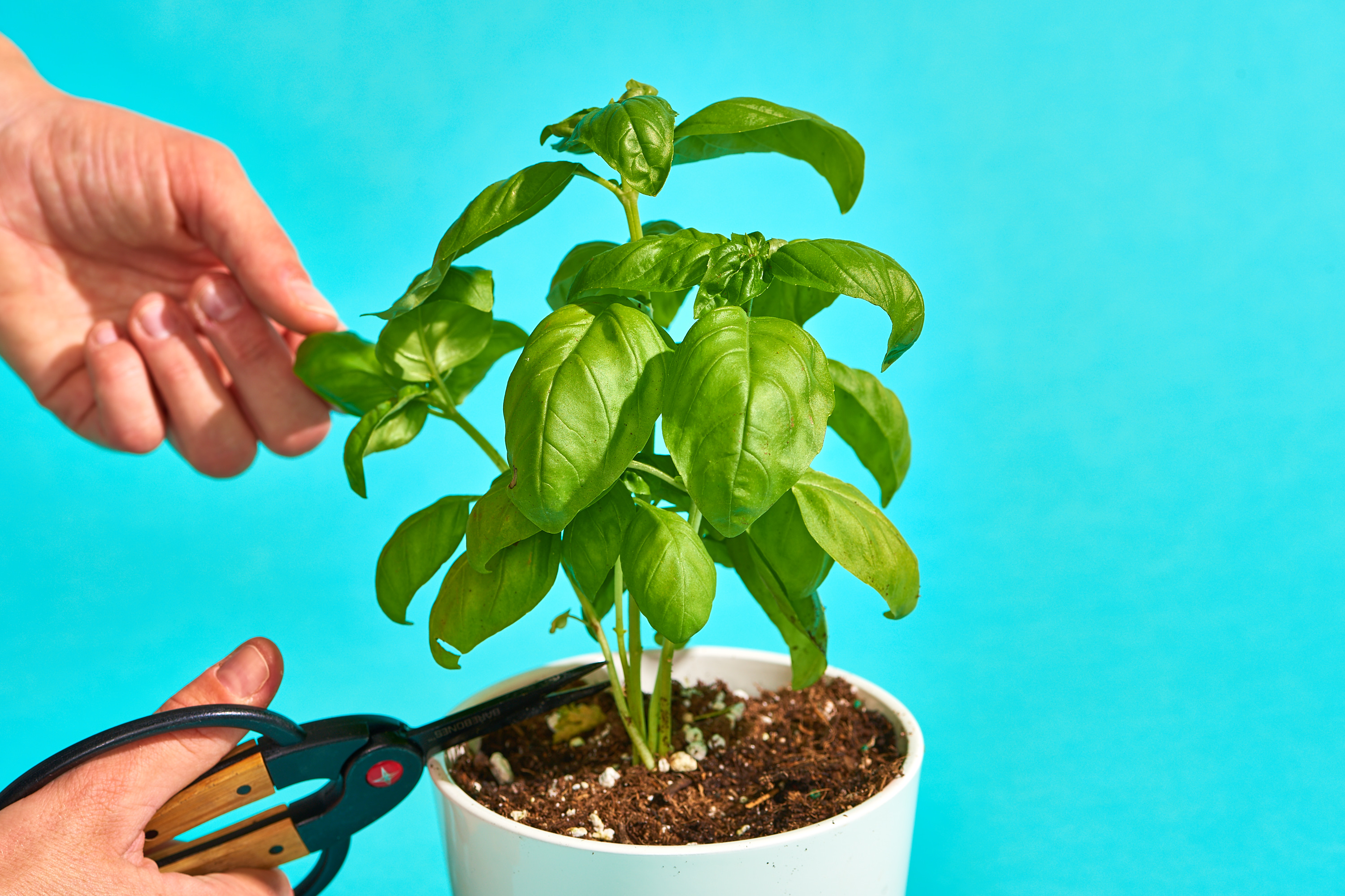 How To Harvest Basil: 5 Mistakes To Avoid