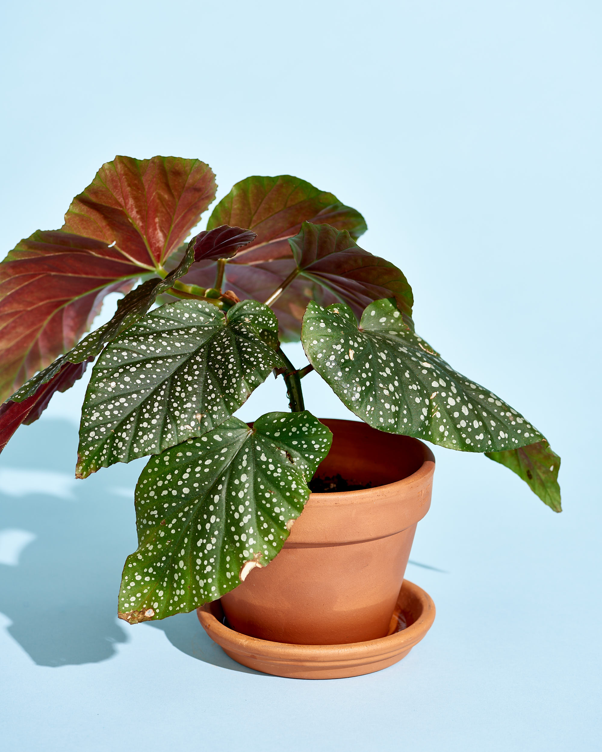 How to Care for Begonia Plants | Apartment Therapy