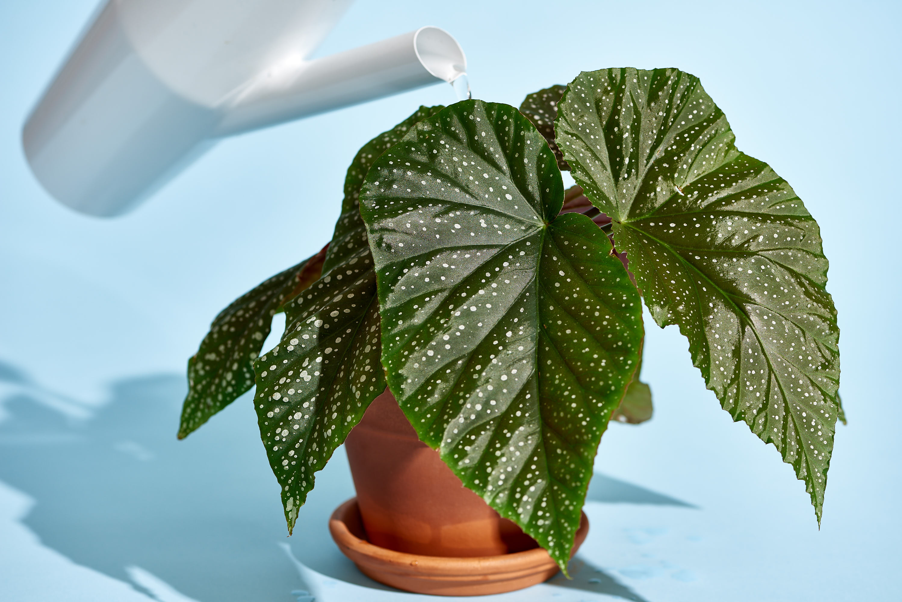 How to Care for Begonia Plants | Apartment Therapy Varigated Leaf House Plant Identification on tall indoor plants, tropical green plants, large leaf indoor plants, varigated leaf tulips,