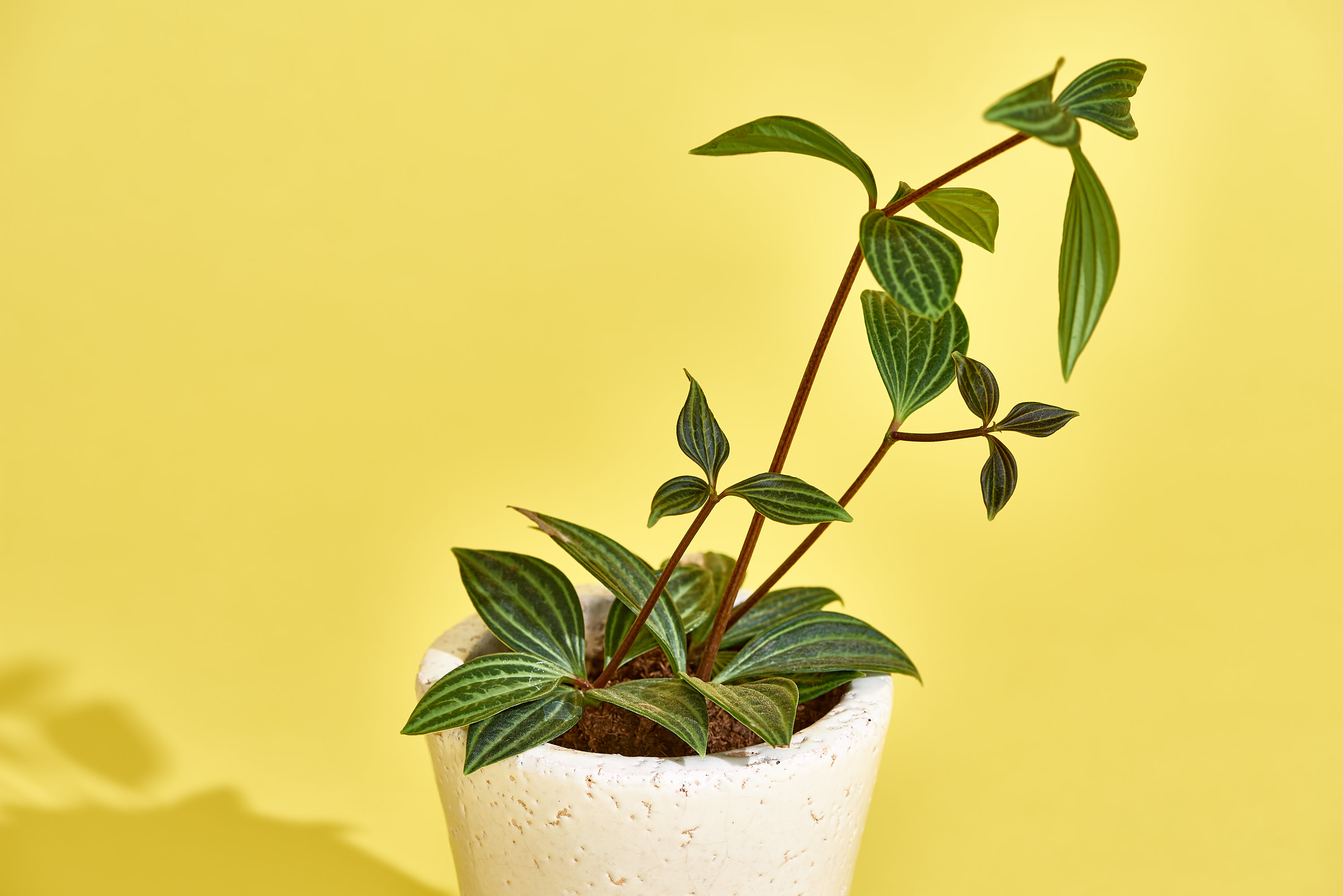 Peperomia Plant Care How To Grow Maintain Peperomias Apartment Therapy
