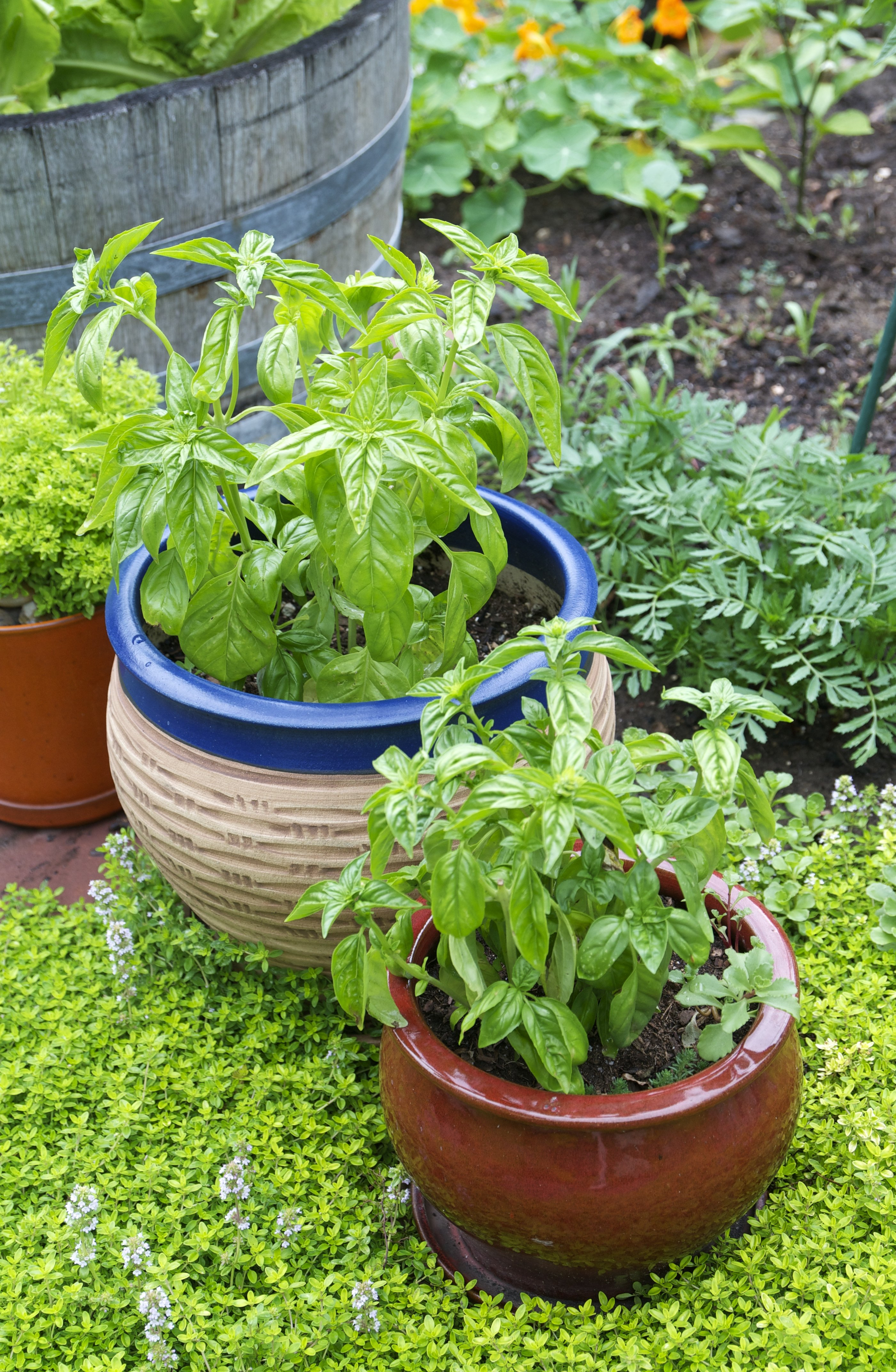 Growing Basil Tips Container Herb Garden   Kitchn