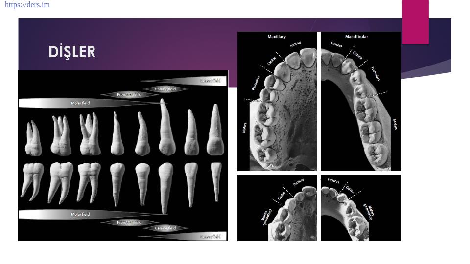 Dişler; Alt ve Üst çene dişlerinin tanımlanması izole dişlerin ayırtedilmesi ve uygulaması