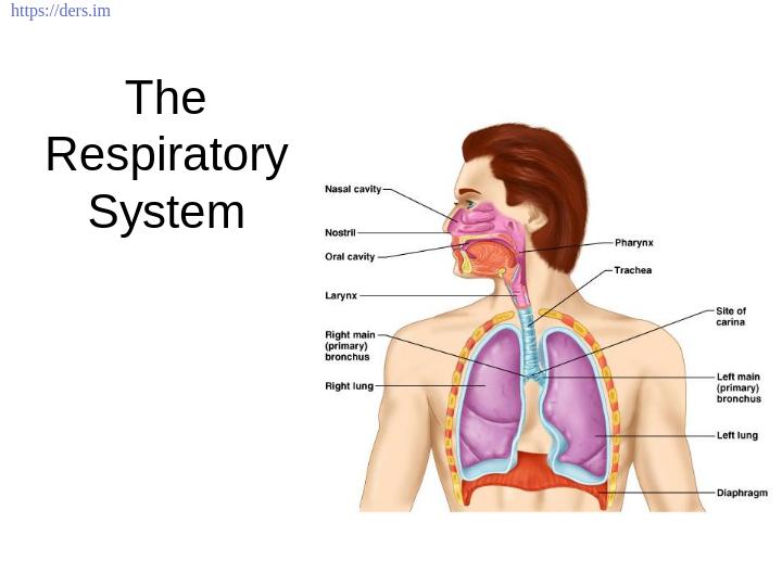 Diş Hekimliği Fakültesi / Histoloji ve Embriyoloji /   Solunum Sistemi Ders Notları