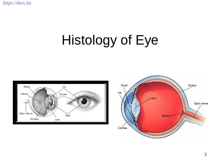 Gözün Histolojisi Ders Notları