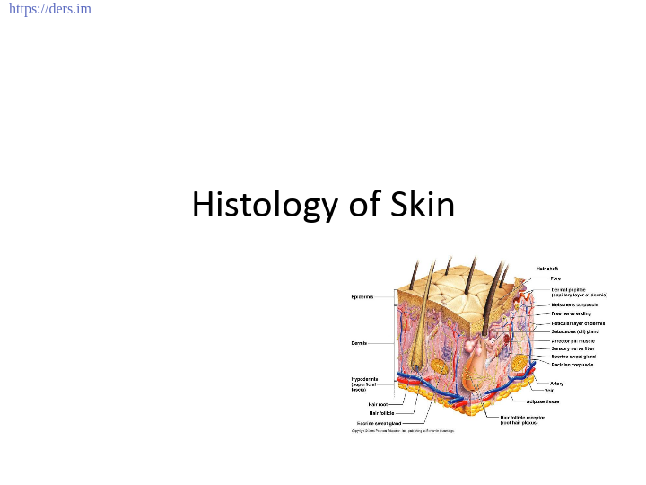 Diş Hekimliği Fakültesi / Histoloji ve Embriyoloji / Cildin Histolojisi Ders Notları