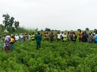 CSIR-SARI introduces high yielding groundnut varieties to farmers