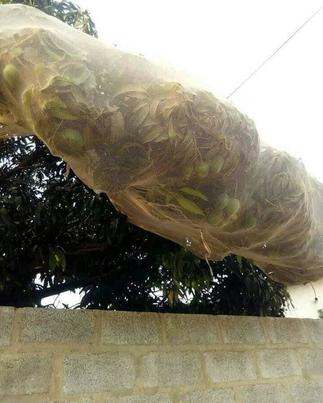 Stingy Landlord Covers Mango Tree With Net To Prevent The Fruits From Falling In Neighbour's House » GhBasecom™