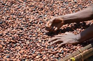 Commodity exchange considers trading cocoa