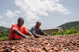 COCOBOD earmarks US$190 million to pay Licensed Buying Companies