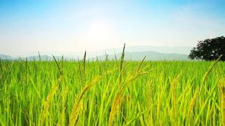 Volta Directorate of Agriculture to train farmers in rice seed production