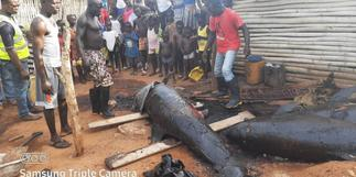 Nzema East MCE confiscates smoked washed-ashore dolphins after Citi News report