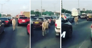 The system is NOT working in Accra as cow competes with cars and motorbikes
