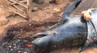 About 132 dolphins washed ashore in hands of residents