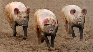 Kpone Katamanso: Restrict movement of pigs to prevent spread of swine fever