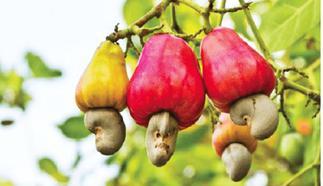 CWG set to grow cashew industry