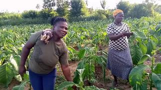 Tobacco farmers lament poor sales over closure of borders
