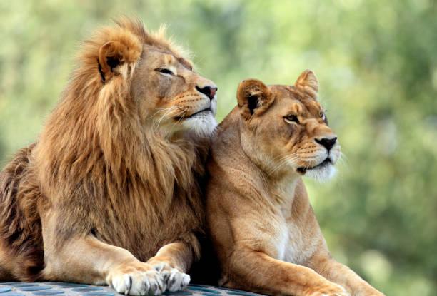 動物園的獅子(圖/示意圖/取自Pixabay)